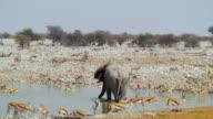 WS View of Zebra, African elephant and Springboks at drinking hole / Etosha National Park, Namibia