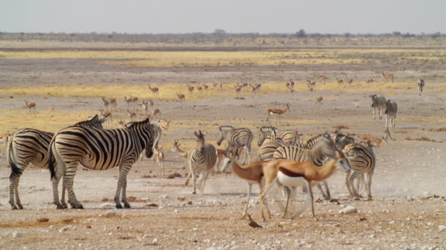 WS View of Zebra and Springbok in savannah / Etosha National Park, Namibia