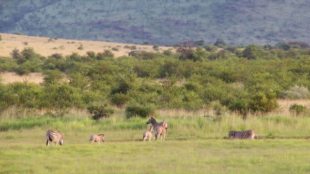 WS View of Zebras grazing and walking in open grassland / Pilanesberg National Park, North West Province, South Africa