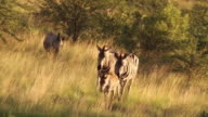 WS PAN View of Zebras walking across grassland / Pilanesberg National Park, North West Province, South Africa