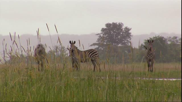 WS View of zebras with weeds in foreground / Mpika, Zambia