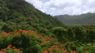 WS AERIAL POV View over orange flowering treetops / Arecibo, Puerto Rico, United States