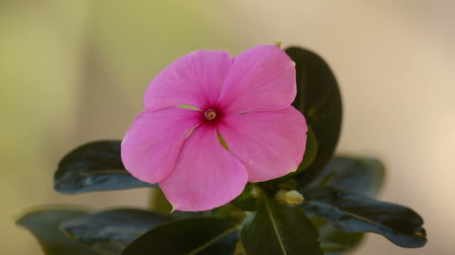 Vinca flower in breeze.