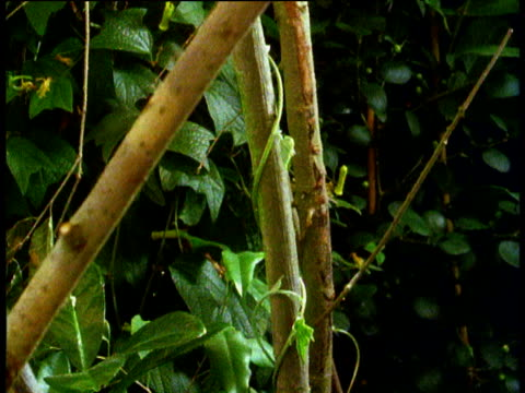 Vine climbs up tree and unfurls large leaves