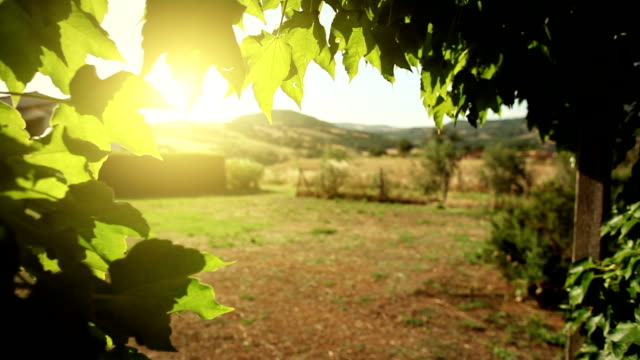 Vine leaves, wind and hot summer sunset in Tuscany