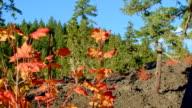 Vine maple fall and lava rock McKenzie River Valley Oregon 33