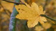 Vine maple leaf Columbia River Gorge Oregon Fall 40