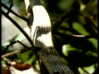 CU Vine Snake, feeding, head eating prey, edited sequence, Kenya; SEQUENCE OF CLIPS, SPECIAL TERMS APPLY