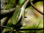 CU Vine Snake, feeding, head eating prey, Kenya