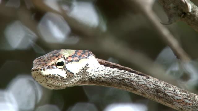 Vine snake imitating vine/ Kruger National Park/ South Africa