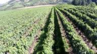 Vineyard fields from a drone