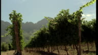 LA Vineyard in blazing sunshine with a mountain range beyond