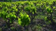 Vineyard in Laguardia, Alava, Basque Country, Spain, Europe