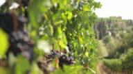 Vineyard Italy, Tuscany