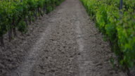 Vineyard,  Laguardia, Alava, Basque Country, Spain, Europe