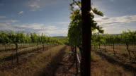 Vineyard Sunshine