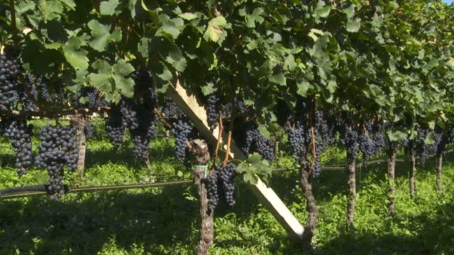 PAN Vineyard with Blue Grapes