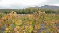 Vineyards among row of poplars and Crimean mountains. Autumn colors.