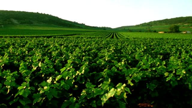 Vineyards in France