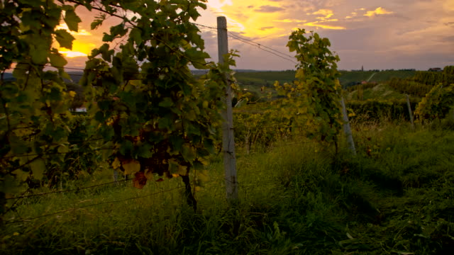 WS Vineyards In The Sunset
