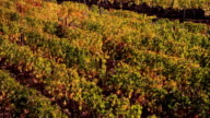 MS TU WS Vineyards with windmill in Autumn / St Emilion, Aquitaine, France
