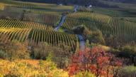 Vinyards, nr Alba, Langhe, nr Piedmont, Italy, Europe