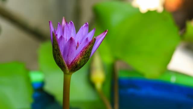 Violet waterlily blooming timelapse