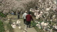Visitors view and walk along a path surrounded by apricot flowers in full bloom.