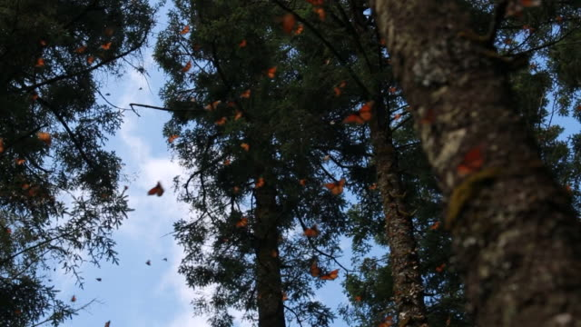 Visitors walk along a dirt path through the monarch butterfly sanctuary in Michoacan Mexico Various close up shots of monarch butterflies resting on...