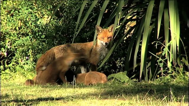 Vixen with Fox Cubs