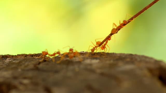 volunteer ant
