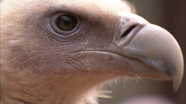 A vulture examines its surroundings.