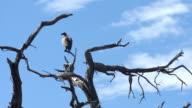 Geier sitzen auf einem kahlen Baum