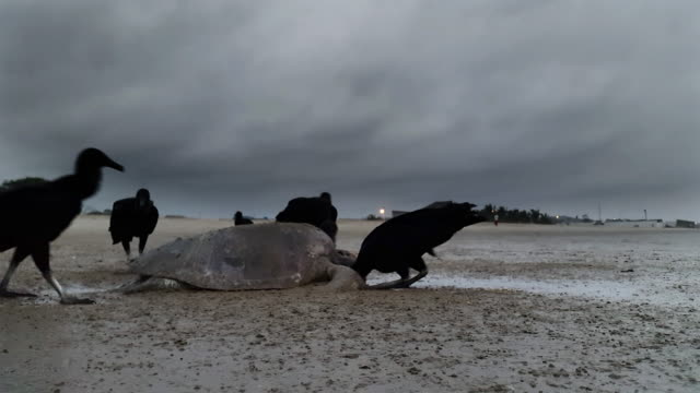 buitres comer una tortuga de mar en Montañita Ecuador