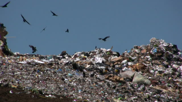 Vultures Flying at the Landfill