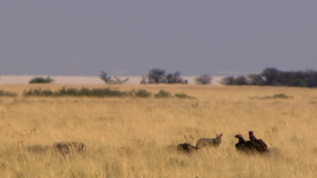 Vultures waiting for their turn to eat from a carcass/ while a two jackals eat/ Etosha National Park/ South Africa