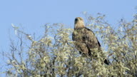 Wahlberg's Eagle looks around in tree top.
