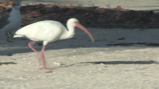 Walking ibis 1 - HD 30F