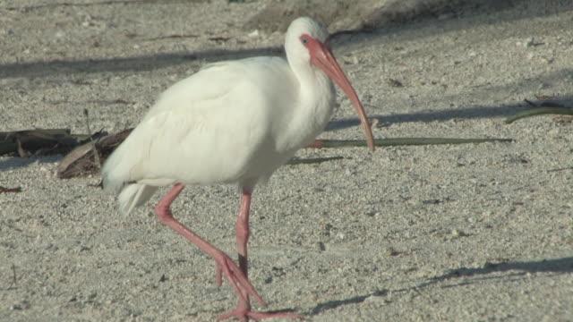 Walking ibis 2 - HD 30F