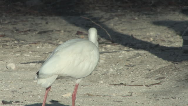 Walking ibis 3 - HD 30F