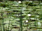 Walking on Lily Pads