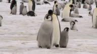 walking penguin family