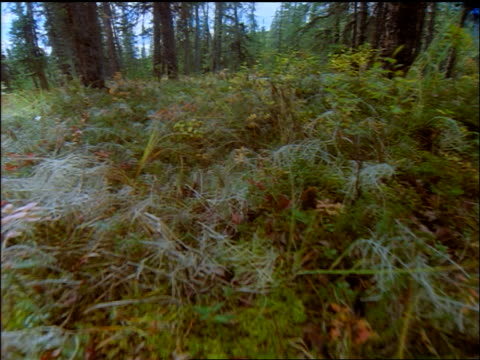 Walking point of view over forest floor covered with grass + Autumn plants / Denali National Park, Alaska