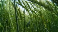 HD SLOW MOTION: Walking Through Wheat Field