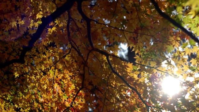 wandelen onder esdoorn in herfst park met kleurrijke bladeren