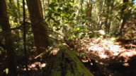 Walking with a steady cam through the Lamington National Park, Queensland, Australia