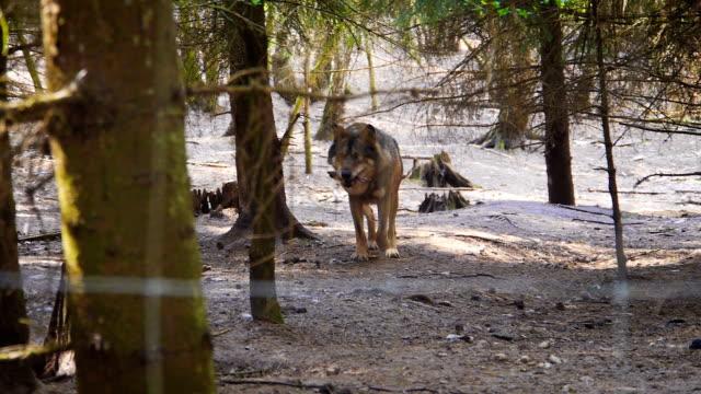 Walking wolf