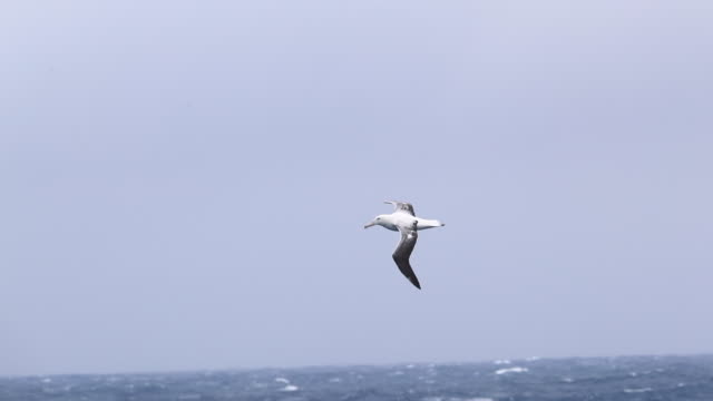 Wandering Albatross flying over a stormy Southern Ocean