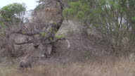 MS PAN TS Warthog chasing young cheetah from termite mound / Kruger National Park, Mpumalanga, South Africa