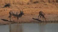 A warthog runs behind two kudus at a waterhole just before a lioness chases the kudus. Available in HD.
